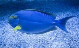 Blå skarp smak för Atlanten & x28; Acanthuruscoeruleus& x29; Arkivfoton