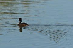 Bl?sshuhnschwimmen ?ber der Oberfl?che von einem Teich und den Jagden f?r Nahrung lizenzfreie stockbilder