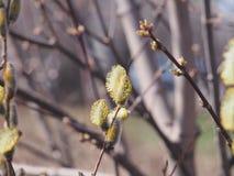 Bl?ste fluffiga blommor av en pil V?rblommor av en pil royaltyfri fotografi
