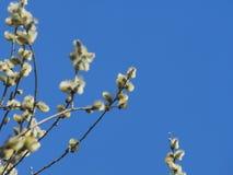 Bl?ste fluffiga blommor av en pil V?rblommor av en pil royaltyfria foton