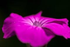 Blütenporträt Lichtnelke Royalty Free Stock Images