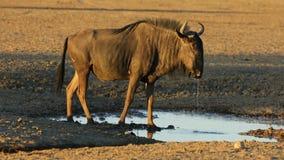 Bl?tt Wildebeestdricksvatten