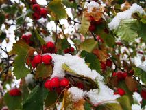 Bl?tter abgedeckt mit Schnee Fr?hherbstschnee fiel und umfasste den Fox Details und Nahaufnahme lizenzfreie stockbilder