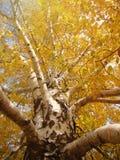 Bl?tter der gelben Birke gegen den blauen Himmel stockfoto