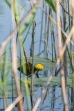 Bl?tter w?ssern Lily Swim Pond Water Lilies stockfotos