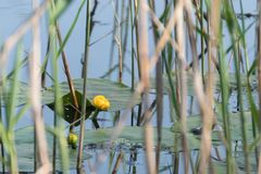 Bl?tter w?ssern Lily Swim Pond Water Lilies stockbilder