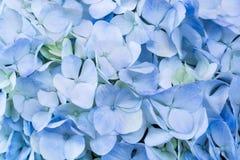blå vanlig hortensia Arkivfoto