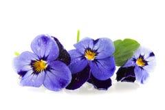 blåa pansies Fotografering för Bildbyråer