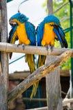 Blåa två och gula arapapegojor Fotografering för Bildbyråer
