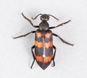 Blaarkevers - mylabrisphalerata royalty-vrije stock foto