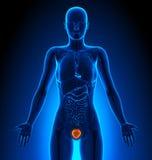 Blaas - Vrouwelijke Organen - Menselijke Anatomie royalty-vrije illustratie