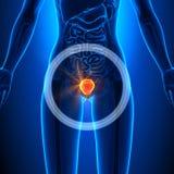 Blaas - Vrouwelijke Organen - Menselijke Anatomie vector illustratie