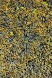 Blaaswier stock afbeelding
