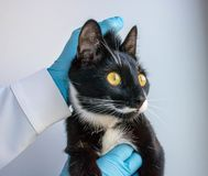 The blac cat keeps the doctor clinic royalty free stock photos