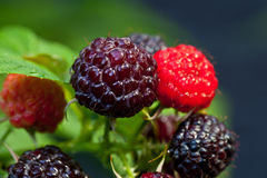 Blacberry Royalty Free Stock Images