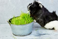 Blacck guinea pig near vase with fresh grass. Royalty Free Stock Image