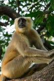 Серый langur сидя на дереве в Rishikesh Стоковые Фото
