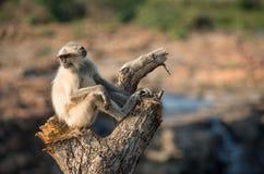 Blace enfrentou o macaco, langur cinzento Fotografia de Stock Royalty Free