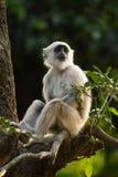 Blace enfrentou o macaco Imagem de Stock