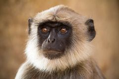 Blace faced monkey Stock Images