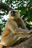 Grey langur sitting on a tree in Rishikesh Stock Photos