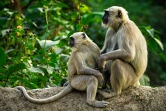 Blace faced monkeys Stock Photography