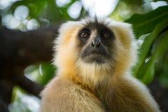 Blace ha affrontato la scimmia, langur grigio Fotografie Stock Libere da Diritti
