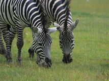 blach biel zebres Obraz Royalty Free