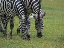 Blach e bianco di Zebres Immagine Stock Libera da Diritti