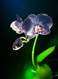 Blach orchid flower vertical view Stock Image