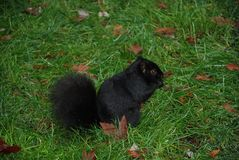 Blach squirrel on meadow. Seen a vancouver Royalty Free Stock Image