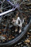 Playful Cat Hiding Behind Wheel. A blaci-and-white banded cat hiding playfully behind a bicycle wheel in a garden on a lazy afternoon Stock Image