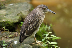 Black‑crowned Night Heron. Perched on a rock Stock Photography
