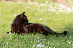 Black adult domestic cat lying in grass and daisies stock images