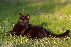 Black adult domestic cat lying in grass and daisies royalty free stock photos