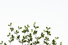 Black afara, Framire (Terminalia ivorensis). Abstacts of Black afara branch and leaf on white background Royalty Free Stock Photos