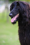 Black afghan hound dog Royalty Free Stock Image
