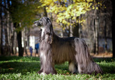 Black afghan hound posing Stock Photography