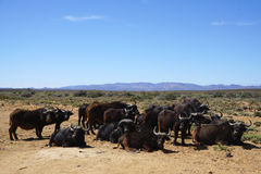 Black African buffalo herd sitting and standing at Africa safari. With meadow landscape background Royalty Free Stock Image