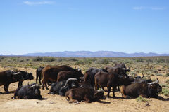 Black African buffalo herd sitting and standing at Africa safari. With meadow landscape background Stock Images