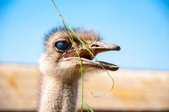 Black African ostrich Royalty Free Stock Images