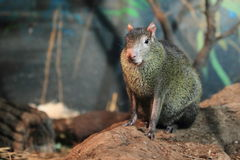 Black agouti Stock Photo