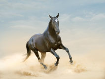 Black akhal-teke horse running in desert Stock Images
