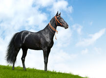 Black akhal-teke stallion - realistic photomontage. Akhal-teke stallion - realistic photomontage Royalty Free Stock Photography