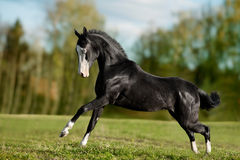 Black akhal-teke young stallion run gallop stock photos