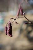Black alder. Male flowers detail stock photos