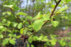 Black alder tree branch in spring season Stock Photos