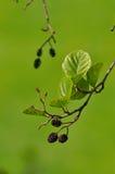 Black Alder twig. Female inflorescences of the European Alder, Alnus glutinosa Stock Photo