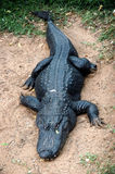 Black alligator. Sleeping black alligator on sand Royalty Free Stock Photography