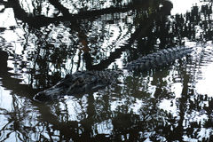 Black alligator hidden in the river Yacuma Stock Image